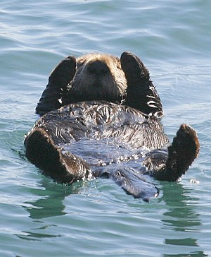 Sea otter - Sea otter ln Morro Bay, California