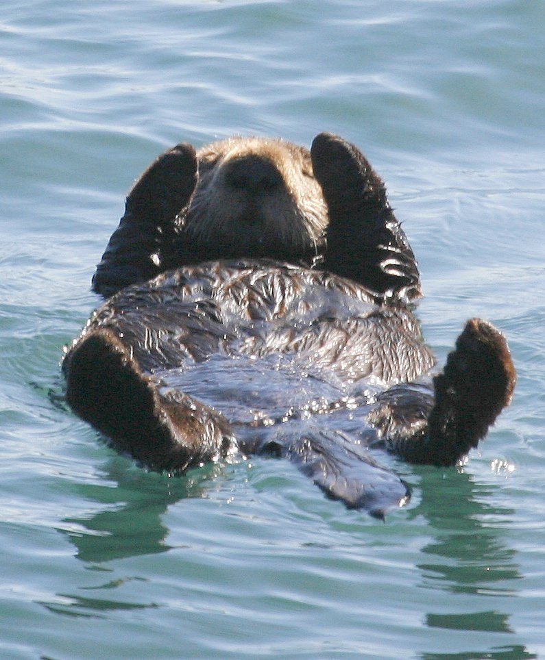 Sea-otter-morro-bay on-back.jpg