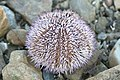 Sea Urchin - Flickr - S. Rae.jpg