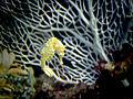 Seahorse swimming.jpg