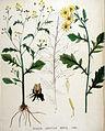 Senecio erraticus — Flora Batava — Volume v19.jpg