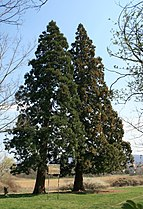 Sequoiadendron giganteum in Hungary.jpg