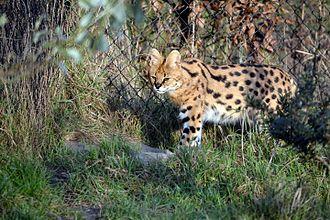Serval - A serval cat Diergaarde Blijdorp