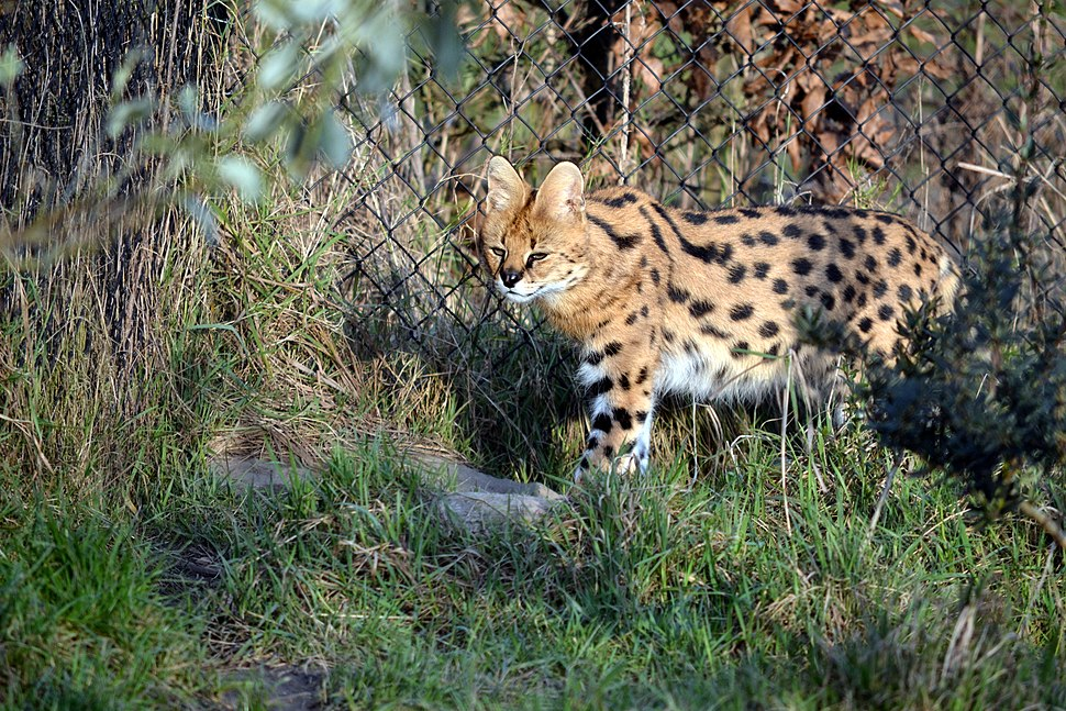Serval (8373405687)