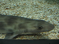 Shark melbourne aquarium.jpg