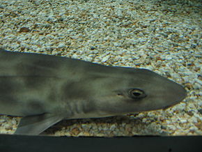 Description de l'image Shark melbourne aquarium.jpg.
