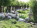 Sheep Norton Lane Runcorn - panoramio.jpg