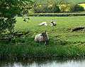 Sheep and lambs near the Grand Union Canal - geograph.org.uk - 417439.jpg