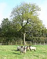 Sheep near the motorway - geograph.org.uk - 605895.jpg