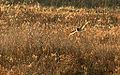 Short Eared Owl, Rollins Savannah Grayslake, IL (6495965133).jpg