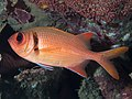 Shoulderbar soldierfish (Myripristis kuntee) (46891868794).jpg