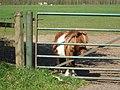 Shy -er horse , pony grazing near Blaxton - geograph.org.uk - 1263514.jpg