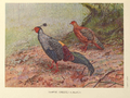 Siamese Crested Fireback by George Edward Lodge.png