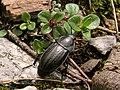 Silphidae - Sílfido (9174186214).jpg