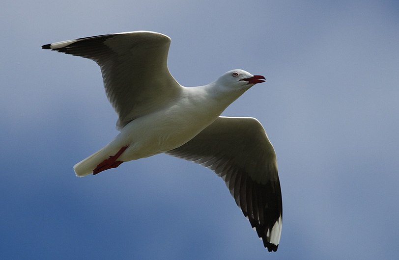 Silver Gull (Chroicocephalus novaehollandiae).jpg