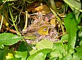 Silver eye hen on nest444.jpg