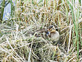 Sleeping duckling (14795892862).jpg