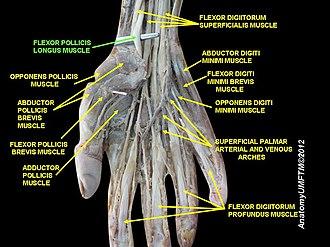 Flexor pollicis longus muscle - Image: Slide 10OOOO