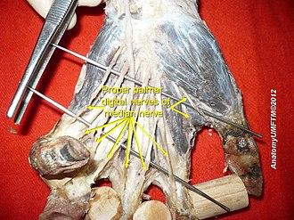 Proper palmar digital nerves of median nerve - Image: Slide 5gggg