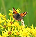 Small Copper Butterfly (Lycaena phlaeas) on ragwort - geograph.org.uk - 1400695.jpg