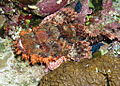 Smallscale scorpionfish, Scorpaenopsis oxycephala - or at least I think so. (6163177899).jpg