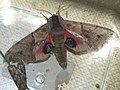 Smerinthus ocellatus - Eyed hawk-moth - Бражник глазчатый (40523379074).jpg