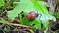 Snail eating Etana syömässä 03.jpg