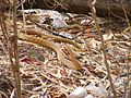 Snake in a littered environment.jpg