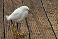 Snowy Egret on Oceanside Pier.jpg
