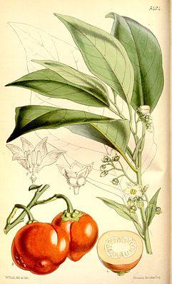 Menschenfressertomate (Solanum viride)