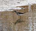 Solitary Sandpiper, Newmarket, Ontario (14121021736).jpg