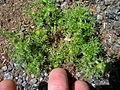 Soliva sessilis plant2 (16004650667).jpg
