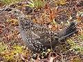Sooty grouse along Lakes Trail. Early September 2015. (21c034b1-3462-4e55-80ea-6d5fc4eecbfc).JPG