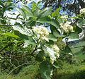 Sorbus badensis 200513b.jpg