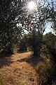 Sous-bois doliviers à Sousel (2786712167).jpg