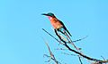 Southern Carmine Bee-Eater (Merops nubicoides) (6021394583).jpg