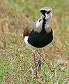 Southern Lapwing (Vanellus chilensis) (29062625035).jpg