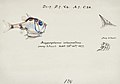 Southern Pacific fishes illustrations by F.E. Clarke 89.jpg