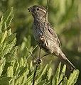 Spanish Sparrow (female).jpg