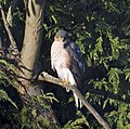 Sparrowhawk at the bottom of the garden 3 (5338848429).jpg