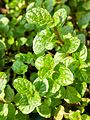 Spearmint in Bangladesh 08.jpg