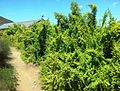 Spekboom hedge - Portulacaria afra - Karoo Desert NBG.jpg