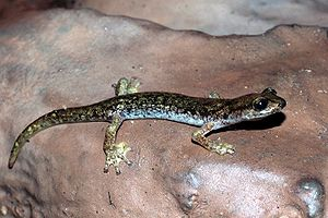 Cave salamander - The Supramonte cave salamander (Speleomantes supramontis) of Italy.