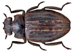 Spercheus senegalensis Laporte de Castelnau, 1832 (9537687977).png