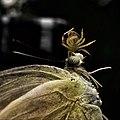 Spider feeding on a butterfly.jpg