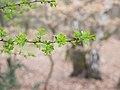 Spring leaves (6958331492).jpg