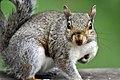 Squirrel (4855051125).jpg