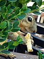 Squirrel Brown Female Pregnant Tame hand fed at aa outdoor food court in Woodland Hills CA jpg photo-Wendie Fischer.jpg