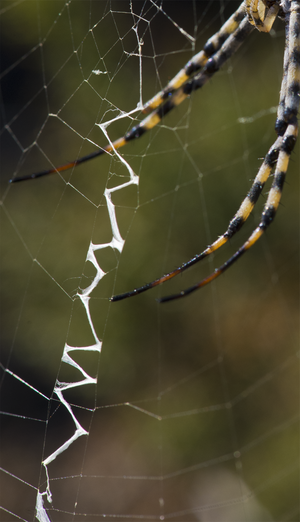 Web decoration - The detail of the stabilimentum in the web of a female Argiope lobata showing its zig-zag structure and rostral location.