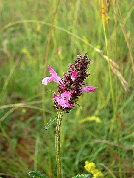 photo somité fleuri de l'epiaire ou betoine